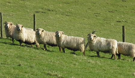 sheep*